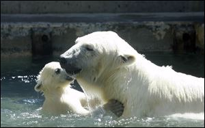 Siku, a young polar bear cub, plays with his mother Crystal at The Toledo Zoo. Crystal is mom to two twin cubs that will go on display in May.