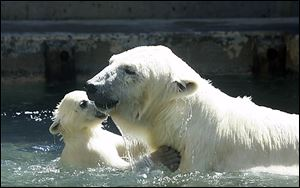 Crystal plays with Siku shortly after it was born in 2009 at the Toledo Zoo.  On Nov. 21, Crystal gave birth to still-unnamed twins.