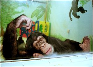 A chimpanzee at the Ohio State University animal laboratory, looks out from his play room.