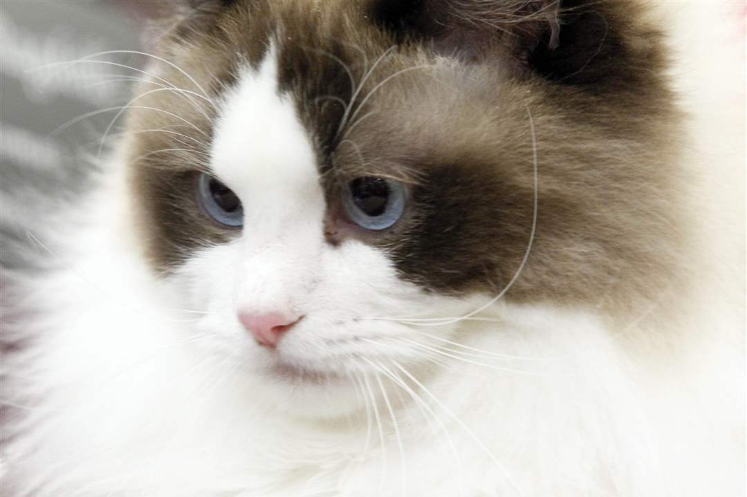 Ragdoll-cat-named-Angel