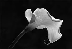 """CALLA LILY,""  digital photography by Patricia Healey, an Artist Merit Award in the 2013 Salon des Refuses Awards."