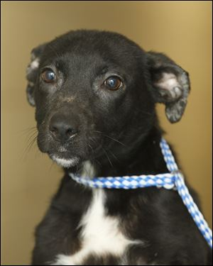 Lizzy, a female labrador mix, is now available for adoption at the Lucas County Dog Warden office. Pound # 5075
