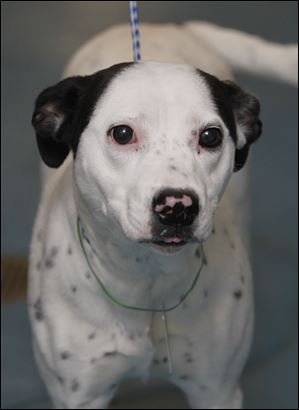 Morgan, a female dalmation mix, is now available for adoption at the Lucas County Dog Warden office. Pound # 97.