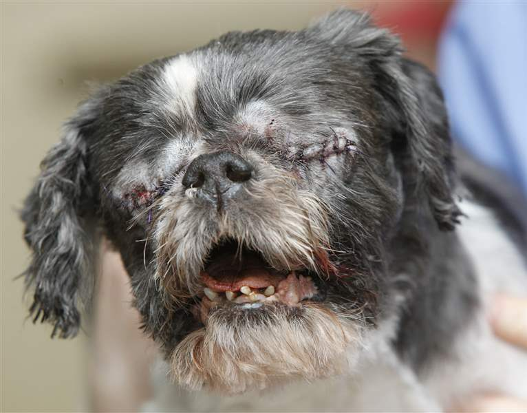 Blind Shih Tzu Stevie Has Eye Treated For Infections The