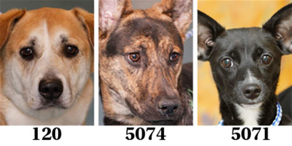 Lucas-County-Dogs-for-Adoption-2-2