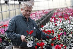 Lakeside Greenhouse owner, Walter Kruger Jr. checks the Cyclamen plants for Valentines Day.