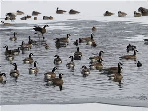 Geese congregate in an unfrozen spot in the lake at Olander Park in Sylvania, Sunday morning.  The lake is largely frozen, but unsafe for ice activities.