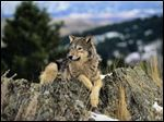 Various estimates place the population of gray wolves in Michigan at fewer than 700.  The gray wolf had been on the federal endangered species list until 2011.