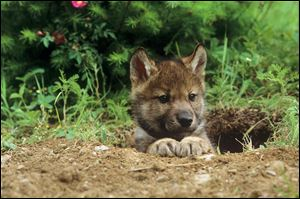 Michigan has designated the gray wolf as a game animal, but the group Keep Michigan Wolves Protected and others want residents to have their say.
