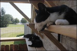 Three black and white cats sit in the cabana at Maumee Valley Save-A-Pet. Groups receiving an A+ grade in the annual Better Business Bureau Foundation charity giving guide included Maumee Valley Save-A-Pet, Planned Pethood, Toledo Animal Shelter, and Toledo Area Humane Society.
