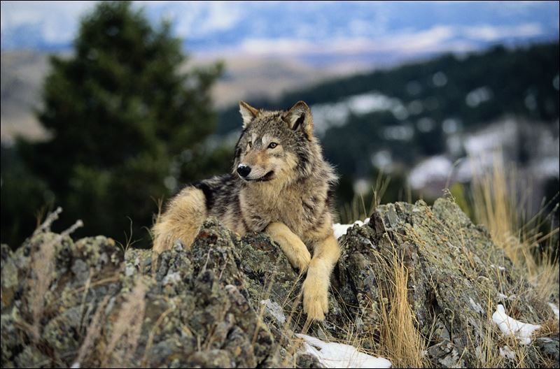 Population of gray wolves in michigan at fewer than 700 the gray wolf