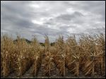 Corn growers had high hopes going into the 2012 planting season but the drought that began last spring hit the corn crop hard. As a result, corn prices skyrocketed and corn has become scarce in some regions, forcing 20 ethanol plants around the country to halt production. Most are not expected to resume production until after 2013 corn is harvested in late August or September.
