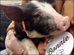 Bonnie, a Berkshire breed pig about 2 1/2 months old, waits for Iowa Gov. Terry Branstad to pardon her outside the governor's mansion Friday in Des Moines, Iowa. The pardon is a first for the governor and a celebration of the annual Blue Ribbon Bacon Festival that begins this weekend at the Iowa State Fairgrounds.