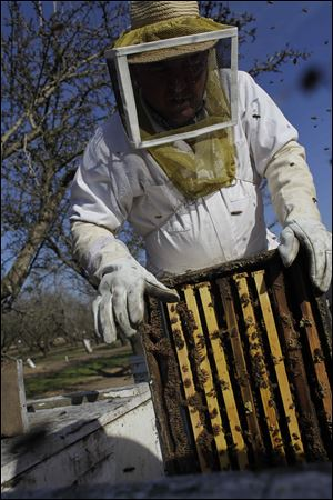 Bee inspector Neil Trent of Scientific Ag Co. inspects a frame of bees to assess the colony strength near Turlock, Calif. Not enough bees covering a frame means an unhealthy hive, and fewer working bees to pollinate California's almond bloom, which starts mid-February.