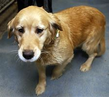 Lady-left-at-the-dog-pound-golden-retriever