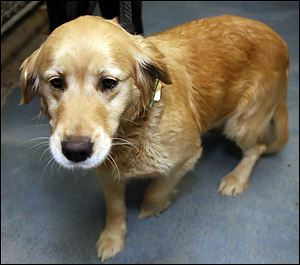 Lady, a golden retriever rescued from the ice, remains at the dog pound until its owner pays the outstanding fines and fees.
