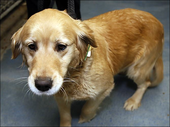 Lady left at the dog pound golden retriever Lady, a golden retriever rescued from the ice, remains at the dog pound until its owner pays the outstanding fines and fees.
