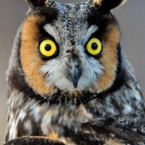 Owl-Long-eared-11-jpg