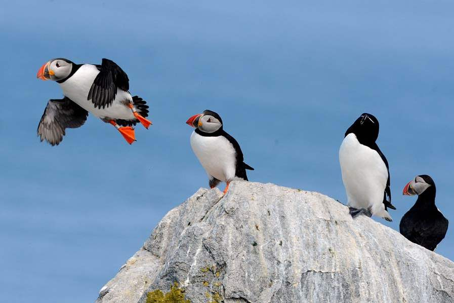 Puffin-in-flight-at-Colony-073-jpg