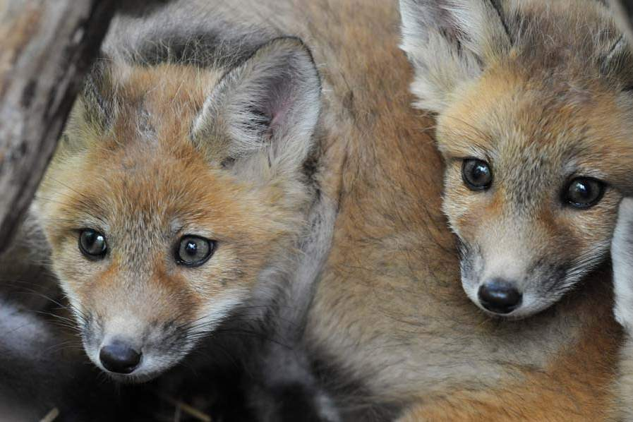 Red-Fox-Kits-008-jpg