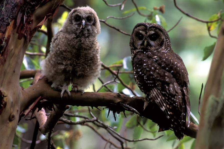 Spotted-owl-and-young-in-Oregon-jpg