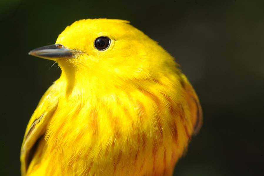 Warbler-yellow-male-jpg