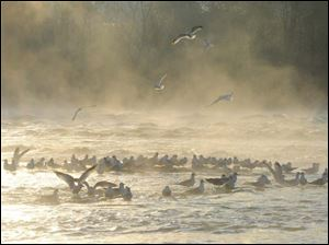 Seagulls at the Maumee River rapids near Jerome Rd.