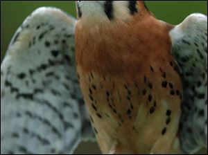 An American Kestrel in Magee Marsh Wildlife Area in Oak Harbor, OH. The American Kestrel, or