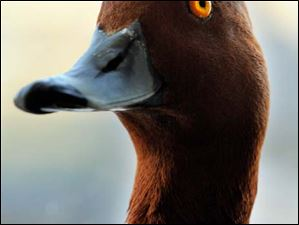 A Redhead Duck, which is a medium-sized diving duck. Adult males have a blue bill, a red head and neck, while the pictured adult female has a browner head and body with a darker bluish bill that has a black tip.
