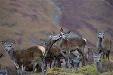 Red-deer-hinds