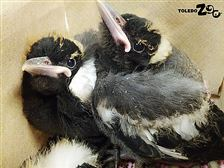 Australian-magpies-chicks