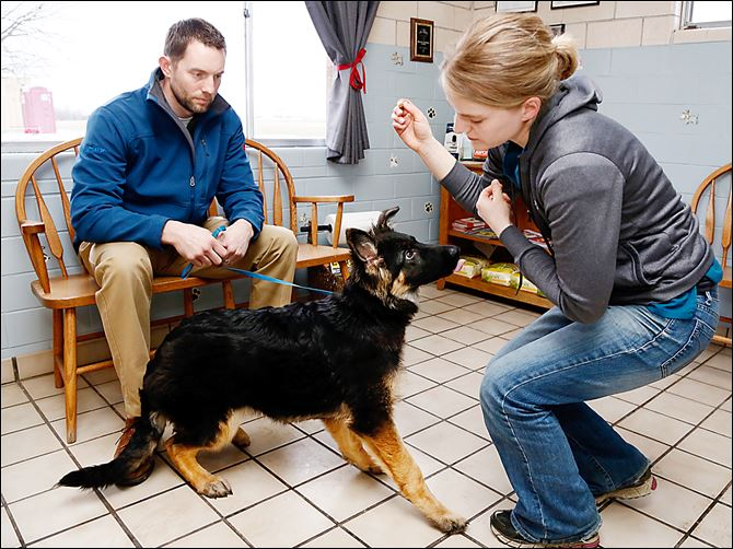 Dr. Ryan Zimmerman of Westview Veterinary Hospital in Fremont and his assistant, Emily Fray, work with Cain, a 17-week-old German Shepherd that bit its owner and sent her to the hospital with injuries. Dr. Zimmerman is hoping to rehabilitate the puppy.