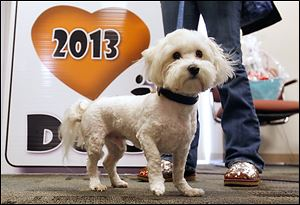 Maserati, a Havanese, is this year's 'Pick of the Litter' winner.