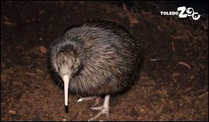 The female North Island Brown Kiwi chick hatched January 12 at the Toledo Zoo.