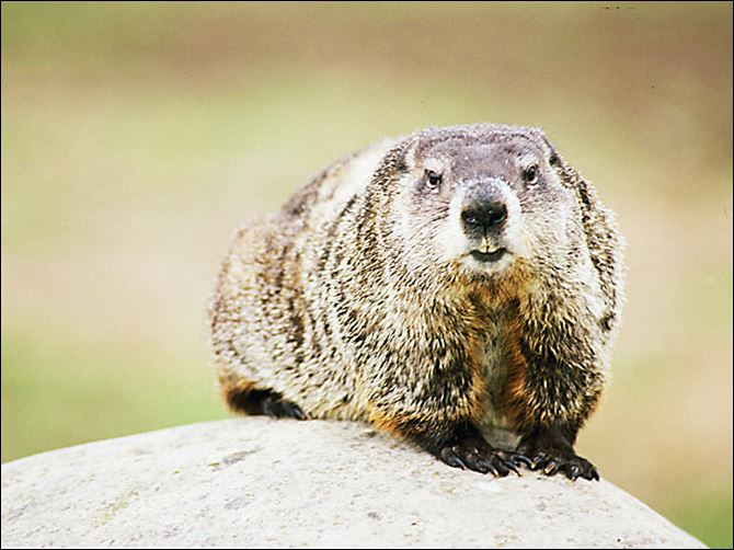 Groundhogs, once rare in Ohio, can be found in all 88 coun­ties. They emerge from a 'pro­found hi­ber­na­tion' each spring.