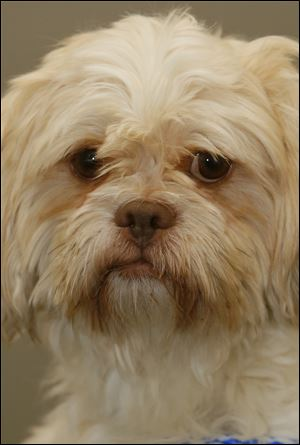 Scooter, a male lhasa apso.