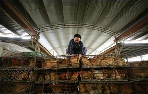 A worker arranges containers  of chickens at a wholesale market on Thursday, April 4, 2013, in Shanghai, China. In a worrisome sign, a bird flu in China appears to have mutated so that it can spread to other animals, raising the potential for a bigger threat to people, scientists said Wednesday.