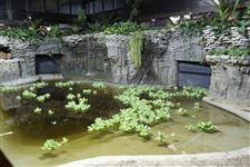 Crocodile-Baru-s-new-habitat