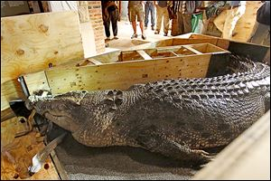 The killer crocodile — named Baru — arrives at the Toledo Zoo after a 30-hour plane trip and clearance by Customs and U.S. Fish and Wildlife officials. The creature is set to go on exhibit in May.