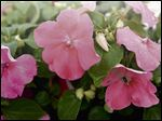 ALTERNATIVES TO IMPATIENS: Impatiens may be at risk this season from impatiens downy mildew, an aggressive mold triggered by cool, moist weather, that can quickly destroy them. Impatiens should not be planted where impatiens downy mildew occurred last year. Here are suggestions for shade-tolerant flowers that can be used in place of impatiens.