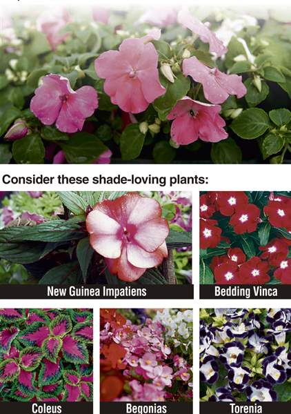 ALTERNATIVES-TO-IMPATIENS