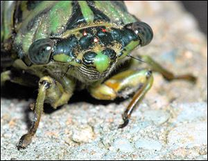 A close up of the head of a cicada.