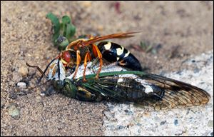 Cicada-killer wasp on top of a cicada.