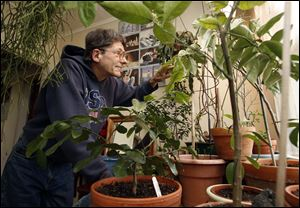 Ronald Knab lives in a small South Toledo apartment packed with 26 citrus trees including orange, lime, lemon, gogi, papaya, and figs.