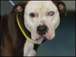Pop Eye, a male pit bull mix.
