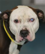 dogs-for-adoption-Pop-Eye
