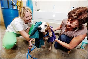 Volunteers Lindsay Czerniak of Toledo, left, and Robin Rayner of Bowling Green towel off Ella Mae, an American fox hound mix, after giving her a bath at the Lucas County Dog Warden's Office in preparation for a 'Fido and Feline Fiesta' mega-adoption event this weekend.