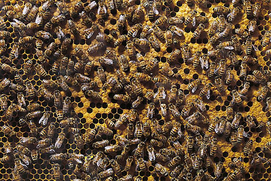 Honeybees-colony