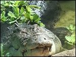 Baru, a saltwater crocodile, will become a permanent exhibit at the Toledo Zoo.