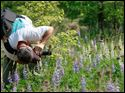 Todd Crail, a lecturer of Environmental Sciences for the University of Toledo, photographs wild blue lupine and white lupine along the University Trails bike and walk path near the Southview Savanna.